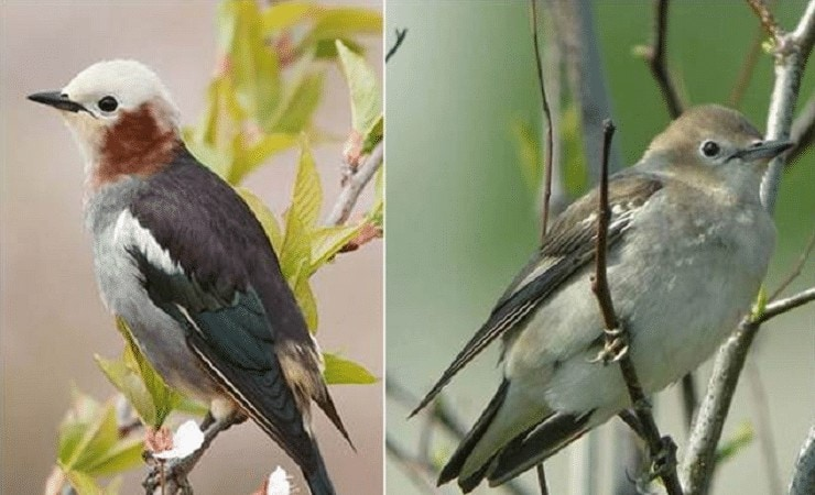 Ciri Khas Burung Jalak Filipina
