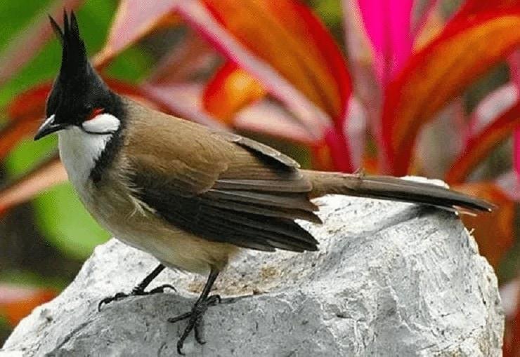 Ciri Khas Burung Merbah Jambul