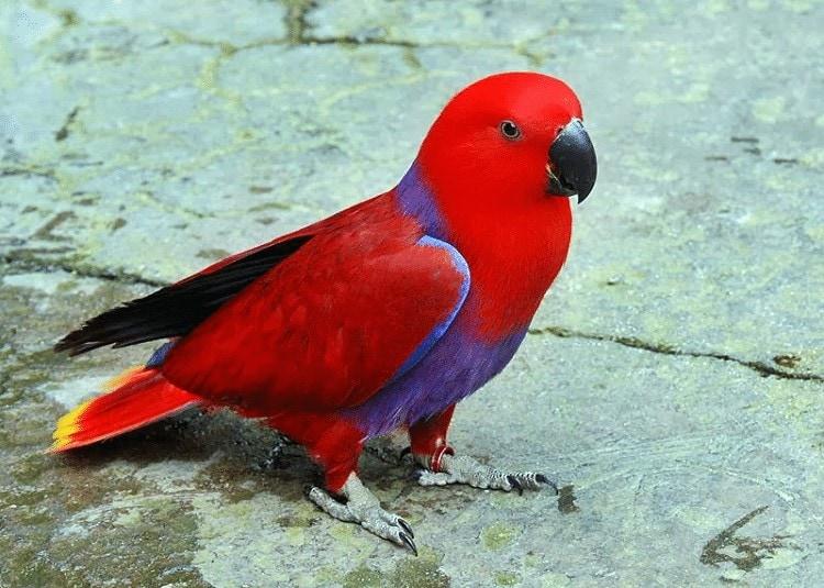 Ciri Khas Burung Nuri Talaud