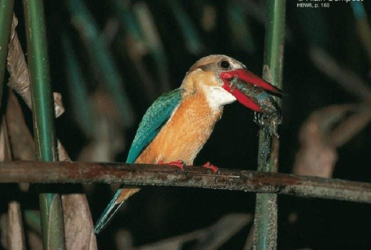 Ciri Khas Burung Pekaka Emas
