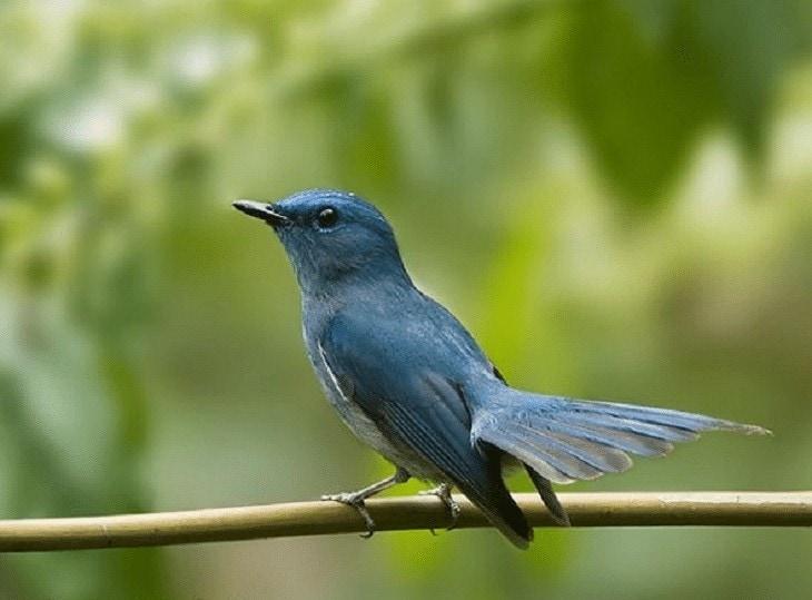 Ciri Khas Burung Sikatan Biru Muda