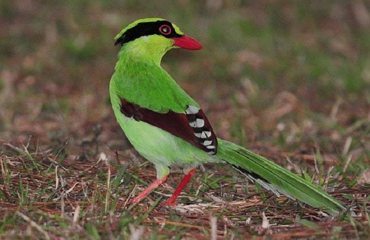 Daerah Persebaran Burung Ekek Layongan