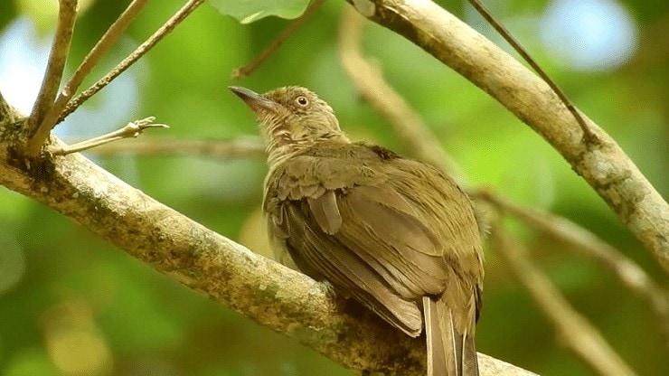 Daerah Persebaran Burung Merbah Belukar