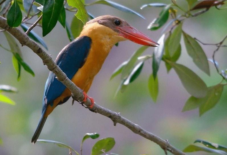 Daerah Persebaran Burung Pekaka Emas