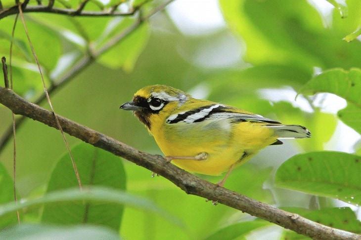 Habitat Burung Ciu Kunyit