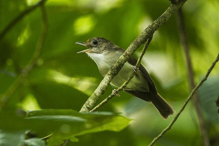 Habitat dan Daerah Persebaran Burung Asi Topi Sisik