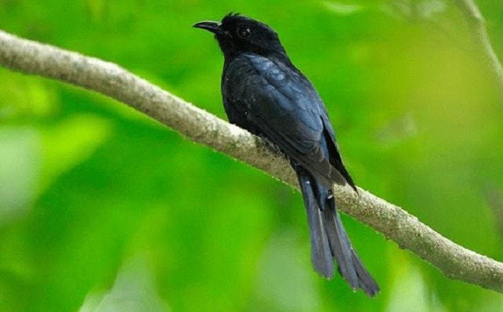 Habitat dan Daerah Persebaran Burung Kedasi Hitam