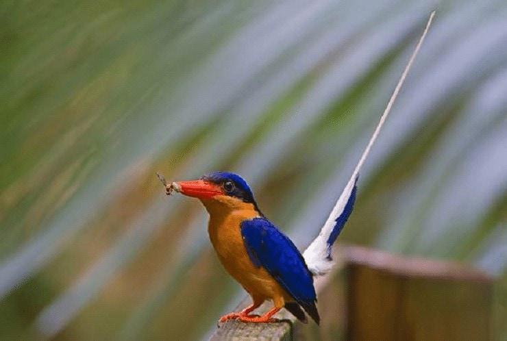 Jenis Burung Cekakak Pita