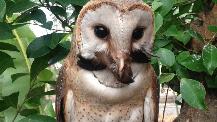 Makanan Burung Serak Jawa