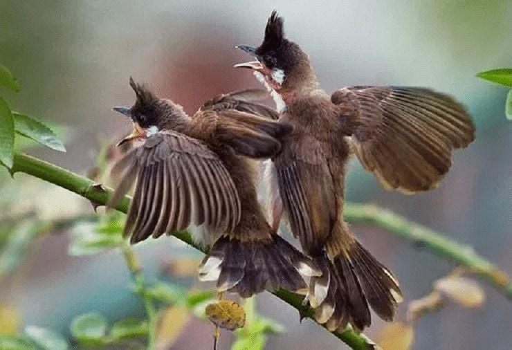 Membedakan Jenis Kelamin Burung Merbah Jambul