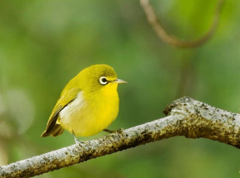 Perawatan Burung Pleci Agar Memiliki Kicauan Nada Tinggi