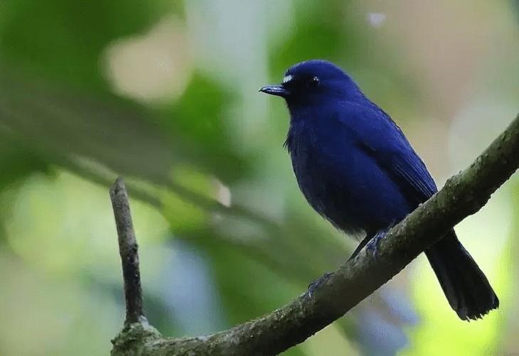 Burung Berkecet Biru Tua