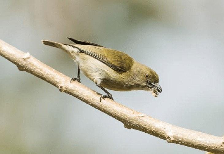 Burung Cabai Emas