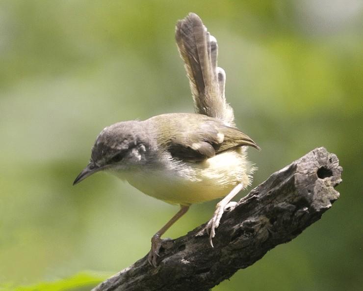 Burung Ciblek Terlanjur Over Birahi