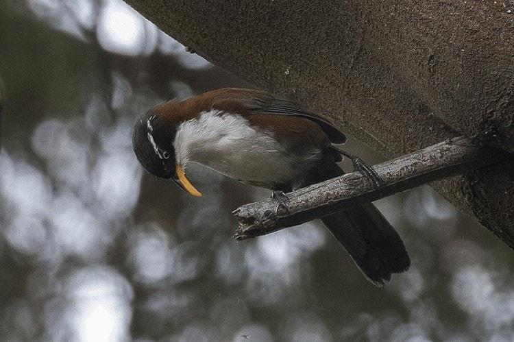 Burung Cica Kopi Melayu