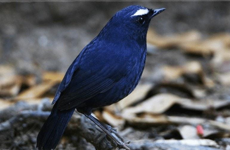 Burung Cingcoang Biru
