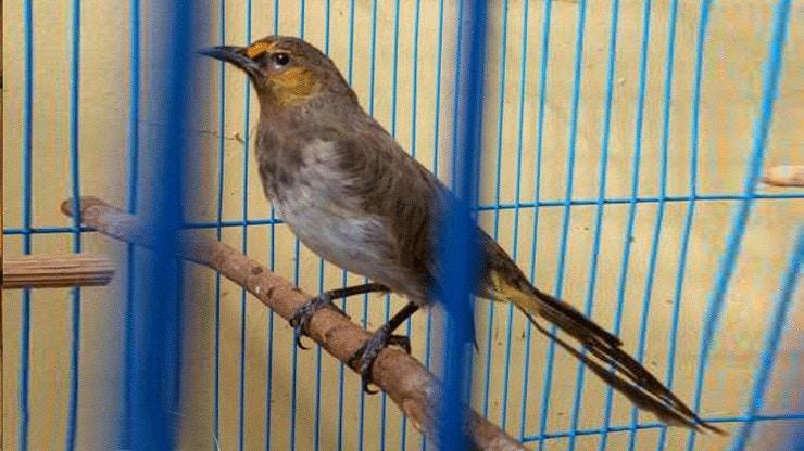Burung Cucak Wilis