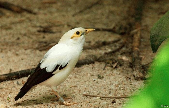 Burung Jalak Pito