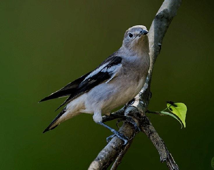 Burung Jalak Tiongkok