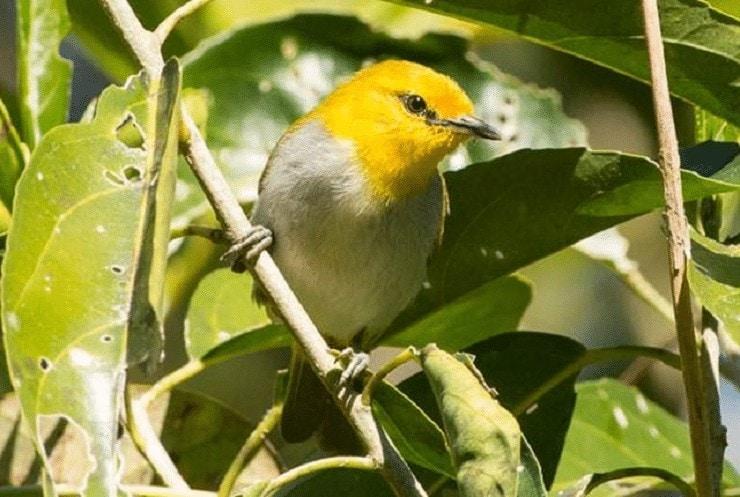 Burung Kacamata Wallacea