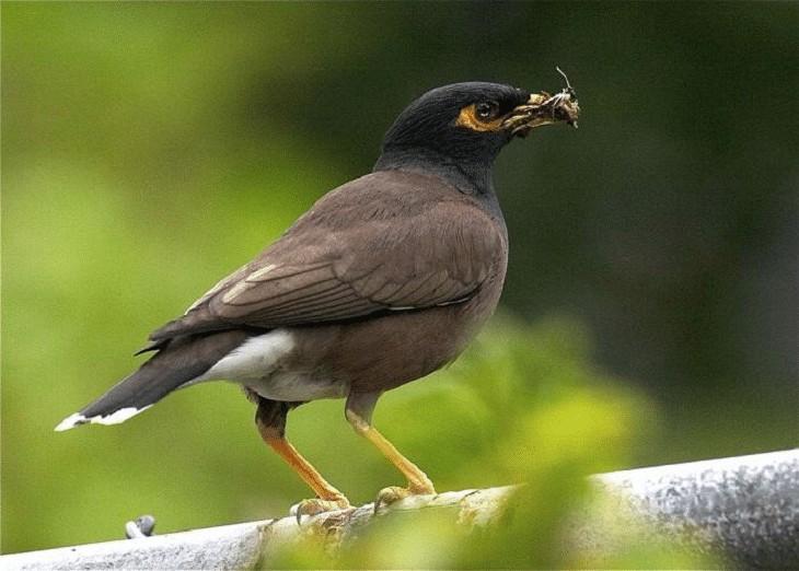Burung Kerak Ungu
