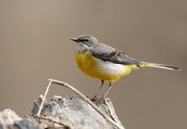 Burung Kicuit Batu
