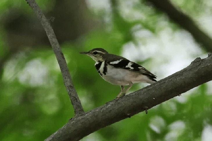 Burung Kicuit Hutan