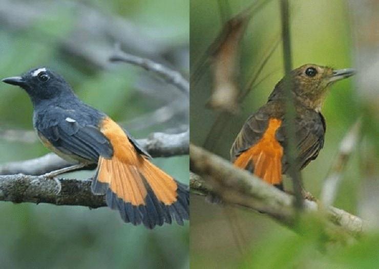 Burung Kucica Ekor Kuning