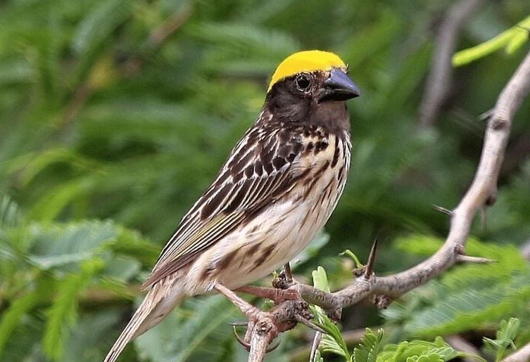 Burung Manyar Tempua