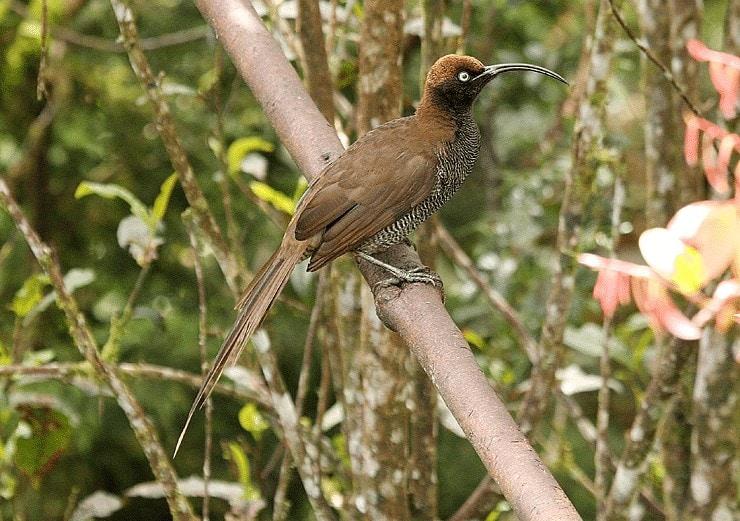 Burung Paruh Sabit Cokelat