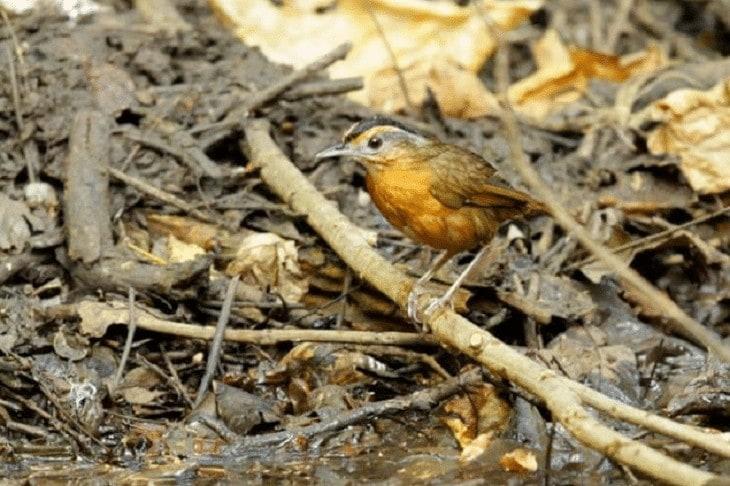 Burung Pelanduk Topi Hitam