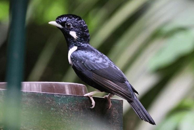 Burung Raja Perling Sulawesi