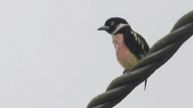 Burung Sempur Hujan Darat