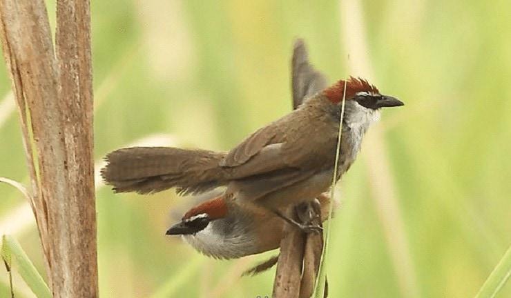 Burung Tepus Gelagah