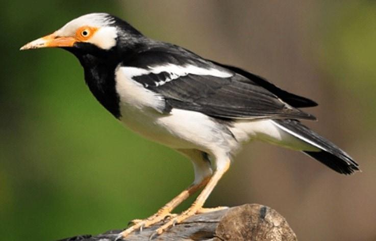 Burung jalak Suren Tidak Mau Mandi Di Keramba