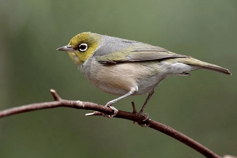 Cara Melindungi Bulu Burung Pleci Agar Tidak Rusak