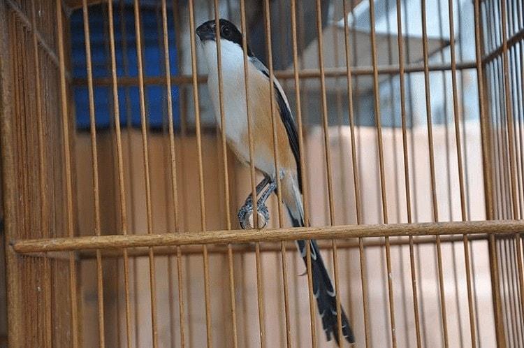 Cara Melindungi Bulu Ekor Burung Cendet