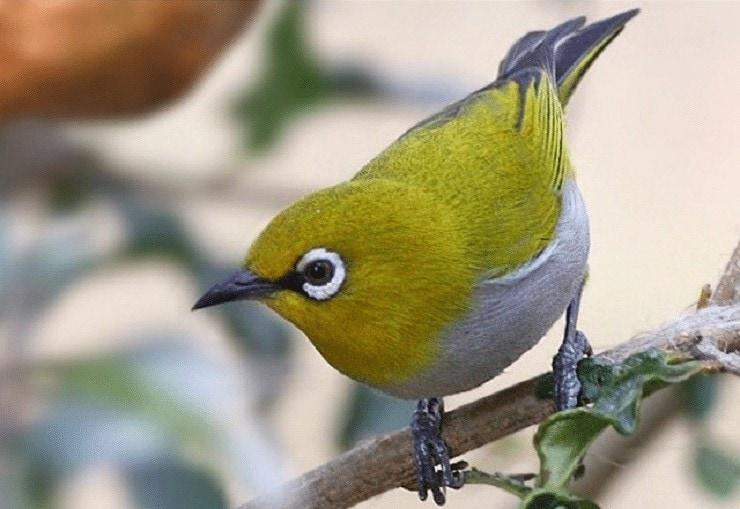 Cara Memperbaiki Suara Burung Pleci Yang Kurang Bagus