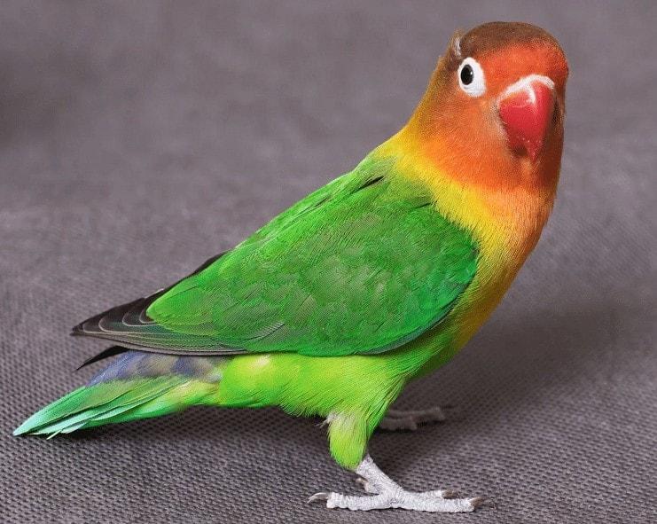 Cara Memunculkan Suara Ngekek Pada Lovebird