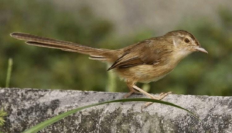Cara Mengatasi Burung Ciblek Gunung Macet Bunyi