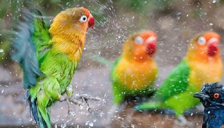 Cara Terapi Mandi Kering Mandi Kering Lovebird