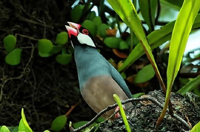 Ciri-Ciri Spesifik Dari Burung Gelatik Belong Jantan