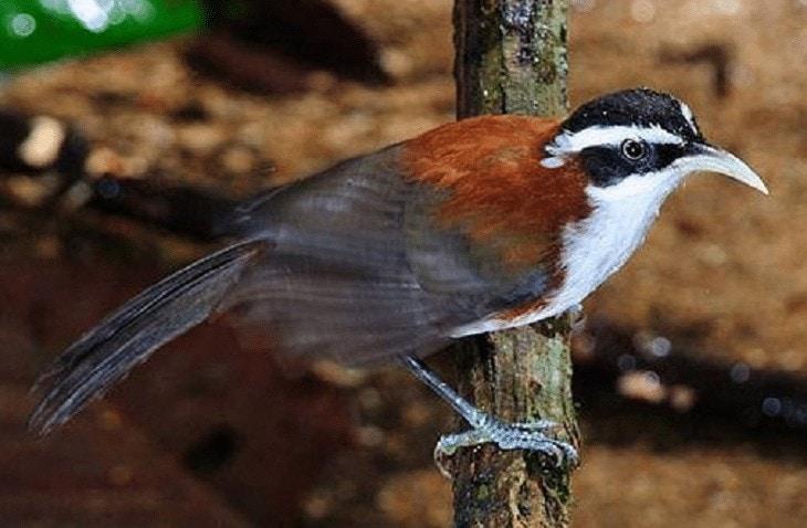 Ciri Khas Burung Cica Kopi Melayu