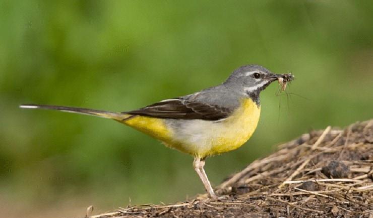 Ciri Khas Burung Kicuit Batu