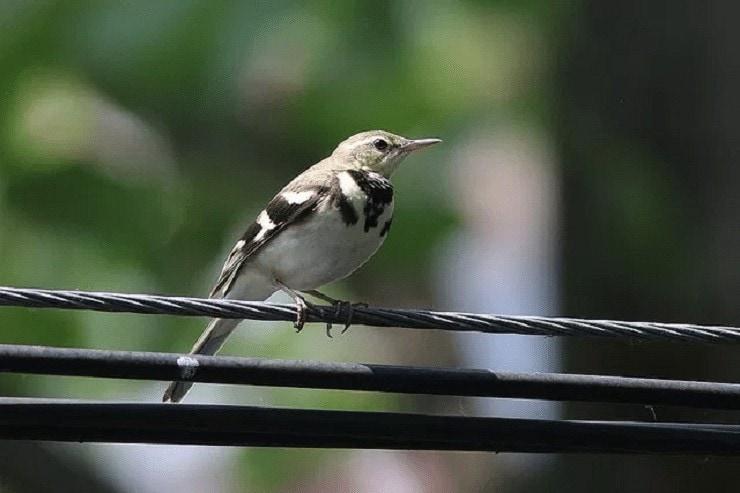 Ciri Khas Burung Kicuit Hutan