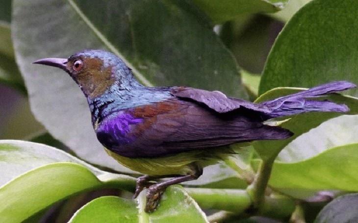 Ciri Khas Burung Madu Kelapa