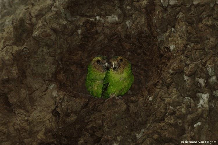 Ciri Khas Burung Nuri Kate