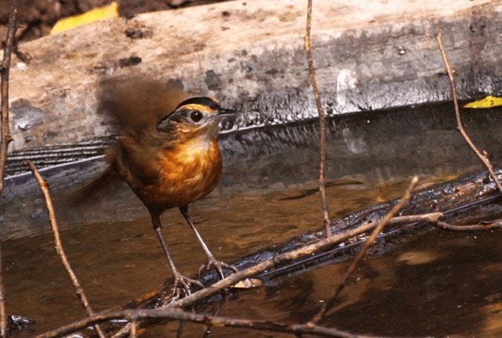 Ciri Khas Burung Pelanduk Topi Hitam