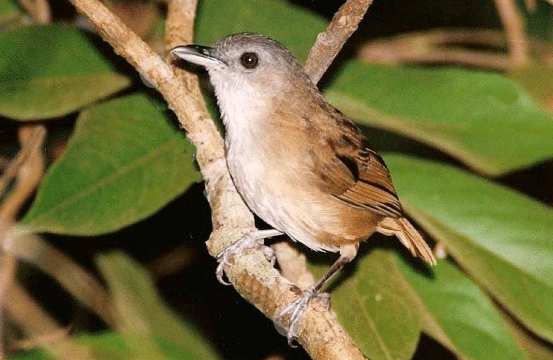Ciri Khas burung Pelanduk Semak