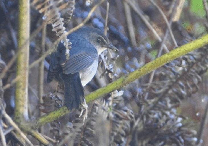Ciri khas Burung Cingcoang Biru